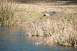 Brazoria County, Damon, Texas; an American Alligator (Alligator mississippiensis) sunning itself on the bank of a slough