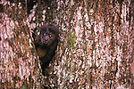 Black Howler Monkey, Islas Bocas del Toro, Panama. When I first heard a howler monkey, the sound was so chilling that I was sure something was being killed. Later, when I discovered the source of the sound, I was greatly relieved! In this photograph, a young howler peers around the trunk of a tree, while adults nearby scold me.