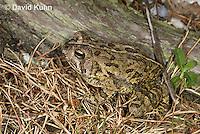 0602-0916  Fowler's Toad, Anaxyrus fowleri [syn: Bufo fowleri (Bufo woodhousii fowleri)]  © David Kuhn/Dwight Kuhn Photography