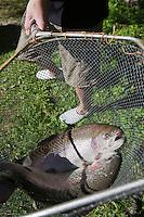 Europe/France/Rhône-Alpes/74/Haute-Savoie/Thones:  la pisciculture -Truites de Torrent