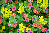 Pink Scarlet pimpernel (Anagalis averensis) and yellow Western Wallflower (Erysimum capitatum). Big Sur coast, California