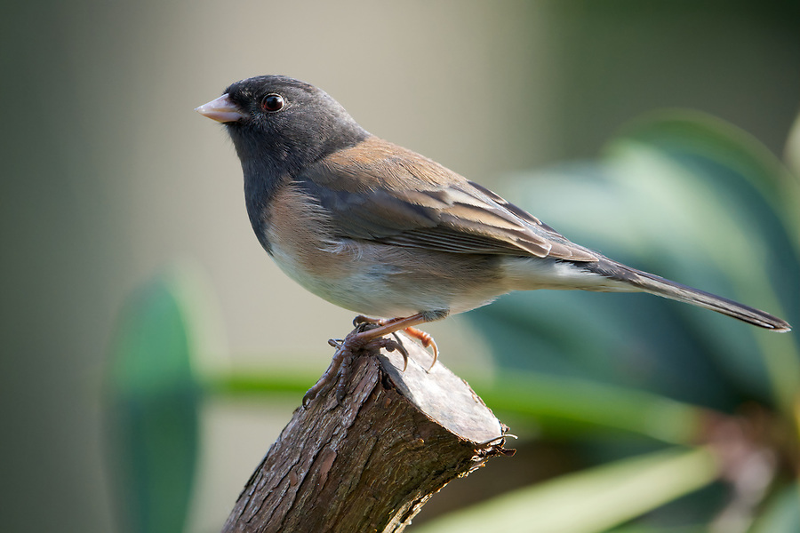 Male dark-eyed junco perched on rhododendron branch, Snohomish, Washington, USA