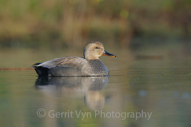 Adult male Gadwall (Anas strepera). King County, Washington. April.