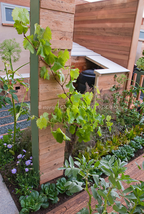 Urban Front Yard Vegetable Garden & House, townhouse with lettuces, climbing grape vines, angelica herb, compact small places for compost bin
