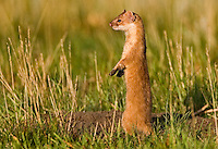 Long tailed weasel hunting in field