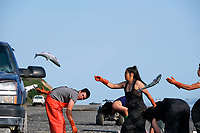 Set netters Loren Huffman, Virginia Andrews and other family members toss sockeye salmon into the back of a pickup truck filled with brackish and ice in Ekuk, Alaska on the Nushagak River in Bristol Bay on July 5, 2019. The truck will head down the beach to deliever their catch to the seafood processor Ekuk Fisheries minutes away. (Photo by Karen Ducey)