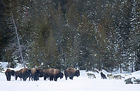 During my final encounter with the Wapiti Lake Pack, the wolves spooked a herd of bison (but ignored them and passed right by).