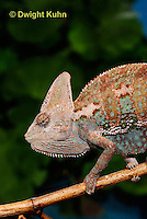 CH51-710z  Male Veiled Chameleon in display color,  Chamaeleo calyptratus
