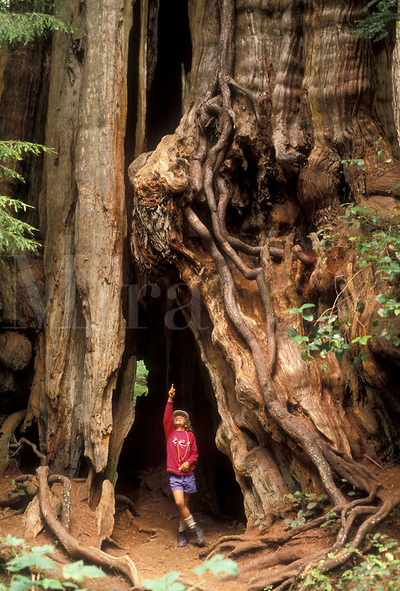 AJ3669, Olympic National Park, tree, Washington, Olympic Peninsula, Young girl (6 years old) stands in a big hollow of a Cedar Tree in Olympic National Park in the state of Washington.