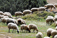 Nordzypern, Schafherde auf der Karpaz-Halbinsel (Karpasia)