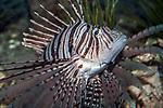 red lionfish, medium shot looking up