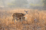Spotted Deer, Ranthambhore National Park; Rajasthan