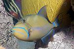 Queen triggerfish swiming left over reef.