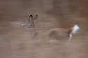 00275-197.13 White-tailed Deer (DIGITAL) doe shows motion blur as she runs in meadow during fall.  Action, flee, prey, hunting.  H6L1