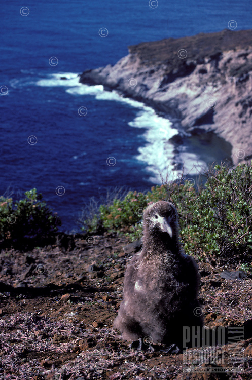 Chick of Laysan Albatross or Moli or Diomedea immutabilis on Lehua islet