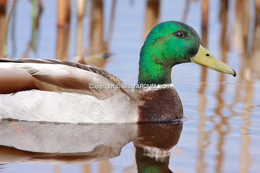 00330-067.05 Mallard Duck (DIGITAL) drake is on the water of cattail marsh.  Hunt, greenhead, waterfowl, wetland, swamp.  H9R1