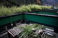 Captive pandas eat bamboo in their enclosure at the Hetaoping Panda Conservation Centre.