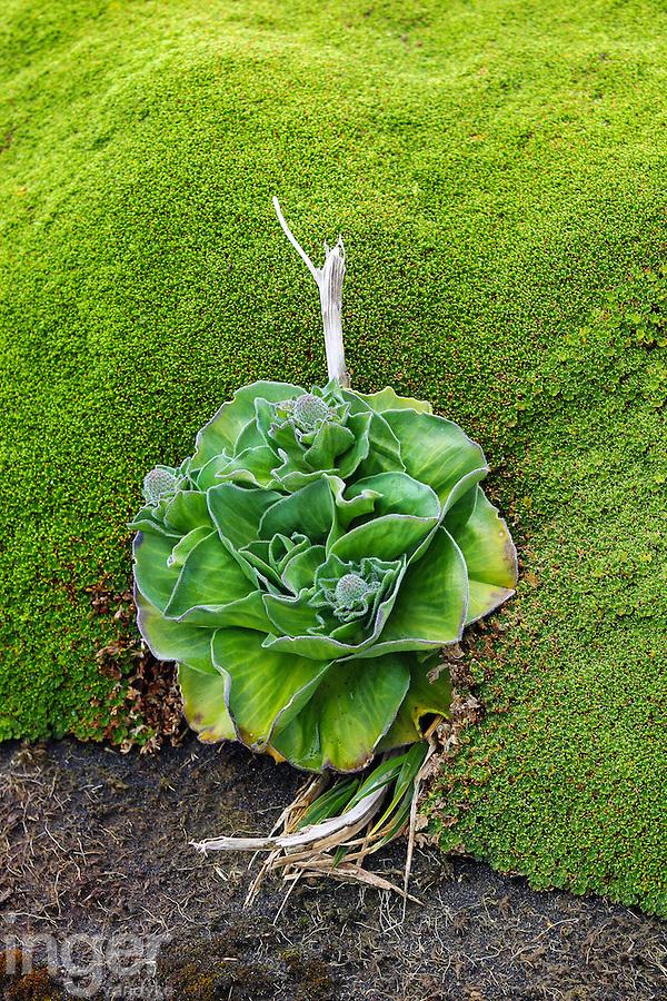 Kerguelen Cabbage and mosses, Heard Island, Antarctica