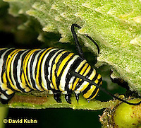 0109-07zz  Monarch Caterpillar - Danaus plexippus © David Kuhn/Dwight Kuhn Photography
