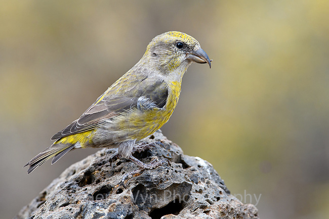Female Red Crossbill (Loxia curvirostra), Deschutes National Forest, Oregon. September