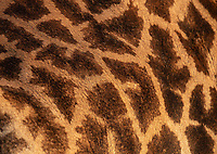 Over time, giraffes have become my favorite large African species.<br /> <br /> Photo © Jennifer Waugh