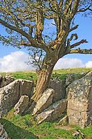 A tree growing from limestone rocks, Settle, North Yorkshire......John Eveson, Dinkling Green Farm, Whitewell, Clitheroe, Lancashire. BB7 3BN.01995 61280. 07973 482705.j.r.eveson@btinternet.com.www.johneveson.com