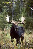 MS01-123z  Moose - bull (male) in Baxter State Park, Maine - Alces alces.