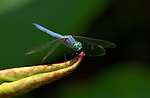 Blue Dragonfly on Lotus, Blue Dasher male, Pachydiplax longipennis, Echo Park, Los Angeles, California