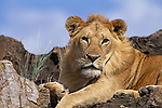 A male lion rests on a rocky outcropping in Africa.