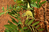 Zambia. Chameleon with curled tail sitting on a branch.