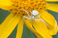 Veränderliche Krabbenspinne, Krabbenspinne, Weibchen lauert auf Blüte auf Beute, Krabben-Spinne, Misumena vatia, goldenrod crab spider, flower crab spider, flower spider, female, la Thomise variable, Krabbenspinnen, Thomisidae, crab spiders