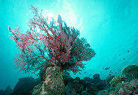 Underwater reef scene - Gorgonian coral in a crystal clear sea, underwater, marine life. Gorgonian coral in crystal clear sea. D'arros Island Seychelles Islands Seychelles Western Indian Ocean.