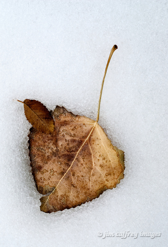 A close-up of two leaves, one larger and one smaller lying partially embedded in the snow.