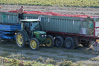 ITALY, Parma, Basilicanova, tomato contract farming for company Mutti s.p.a., harvest with harvester, the harvested plum tomatoes are used for canned tomato, pulpo, passata and tomato concentrate / ITALIEN, Tomaten Vertragsanbau fuer Firma Mutti spa, die geernteten Flaschentomaten werden anschliessend zu Dosentomaten, Passata und Tomatenmark verarbeitet und konserviert, alles 100 Prozent Italien