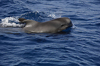 Short finned pilot whale, Globicephala macrorhynchus, Grey calf surfacing and spouting, Tenerife, Canary Islands, Spain, East Atlantic Ocean