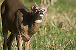 White-tailed buck (Odocoileus virginianus) performing flehmen