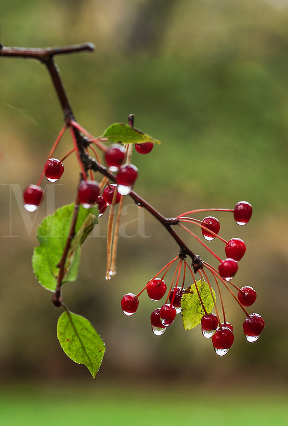 Berry branch after rain.