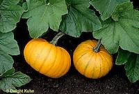 HS24-106b  Pumpkin - Baby Bear variety