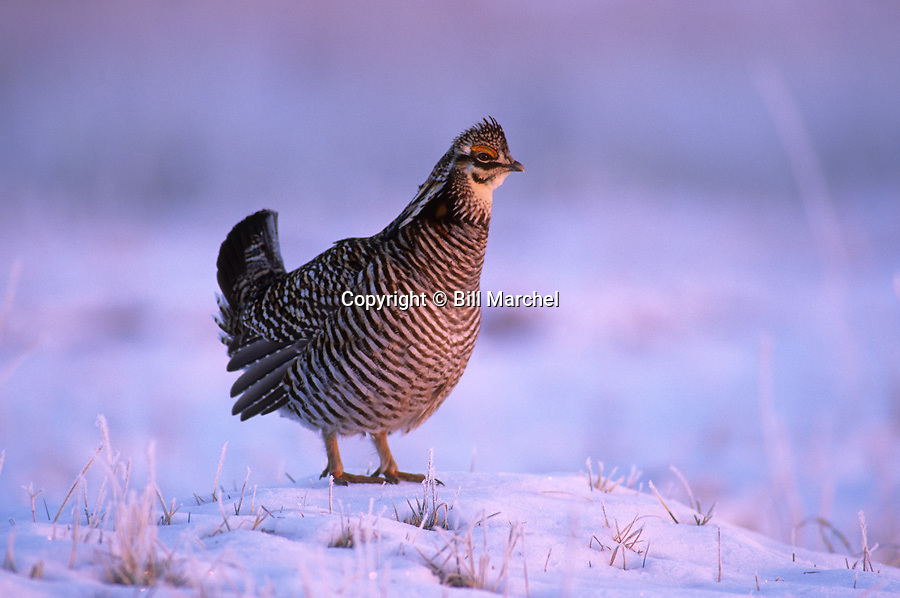 00500-003.02 Greater Prairie Chicken surveys lek in early morming light after spring snowstorm. H4R2   MN