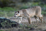 Young male puma (Puma concolor) (southern subspecies Puma concolor puma) (in N. America, cougar or mountain lion). Private ranch land (Estancia Amarga) on the outskirts of Torres del Paine National Park, Patagonia, Chile.