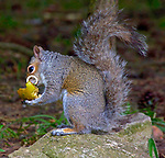A 'sabre-toothed' squirrel has been spotted living in a British woodland.  The bizarre-looking rodent is instantly recognisable, with a long curly tooth growing outside its mouth and resting on its cheek.<br /> <br /> The squirrel appears to have an extreme case of malocclusion which has forced one of its teeth to grow into a spectacular and curly hoop.  It was spotted by retired artist Alan Jones near a church graveyard in the village of Childswickham, Worcs.  SEE OUR COPY FOR DETAILS.<br /> <br /> Please byline: Alan Jones/Solent News<br /> <br /> © Alan Jones/Solent News & Photo Agency<br /> UK +44 (0) 2380 458800