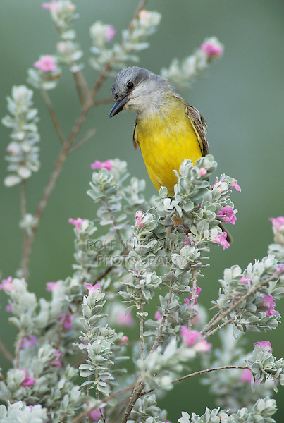 Couch's Kingbird, Tyrannus couchii , adult on blooming Texas Sage (Leucophyllum frutescens) , Starr County, Rio Grande Valley, Texas, USA