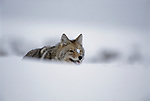 Snow drifts in front of a coyote in Yellowstone National Park.