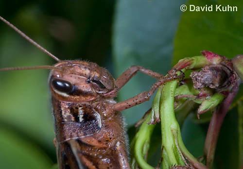 0407-1103  American Birdwing Grasshopper, Bird Locust, (Details of Labram, Mandibles, Maxillae, Labium, Eye, Antennae), Schistocerca americana  © David Kuhn/Dwight Kuhn Photography