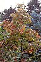 Sourwood tree Oxydendron arbboreum in fall color