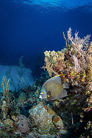 French angelfish, pomacanthus paru, Little Cayman, Cayman Islands, Caribbean Sea, Atlantic Ocean