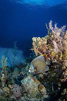 French angelfish, pomacanthus paru, Little Cayman, Cayman Islands, Caribbean Sea, Atlantic Ocean