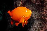 Catalina Island, Channel Islands, California; Garibaldi (Hypsypops rubicundus), male guarding it's nest of eggs , Copyright © Matthew Meier, matthewmeierphoto.com All Rights Reserved
