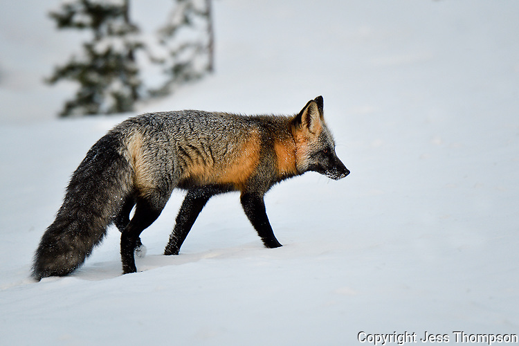 Cross Phase of Red Fox, roadside west of Cody Wyoming