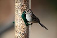 Rufous-winged Sparrow (Peucaea carpalis carpalis) on a bird feeder at Desert Meadows Park, Green Valley, Arizona.